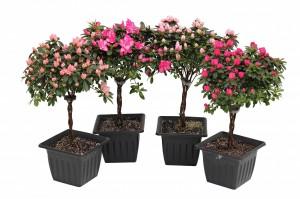 azalea treeswmk