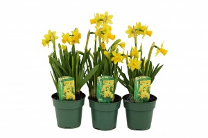 daffodil 4inwmk