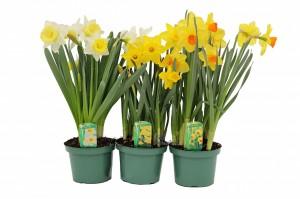 daffodil 6inwmk