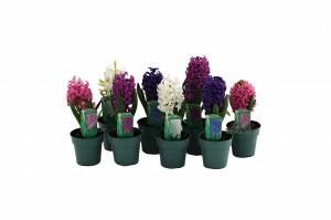 hyacinth 4 inwmk