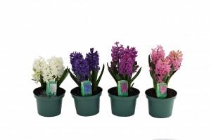 hyacinth 6 inwmk