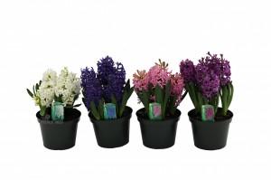hyacinth 7 inwmk