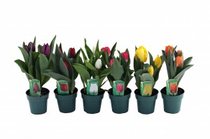 tulips 4 inwmk