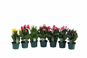 tulips 6inbwmk
